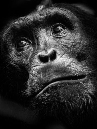 black and white chimpanzee portrait photo