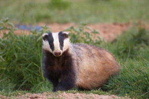 European badger animal nature photo