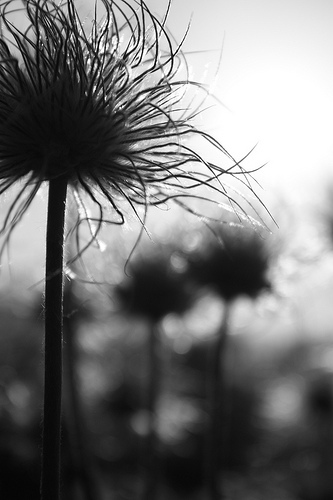 naturalist photo documentary flower plant Pulsating Anemones