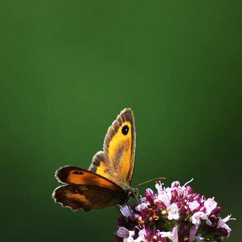 Amaryllis photo butterfly