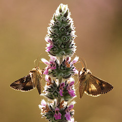 Photo Gammas twins butterfly light